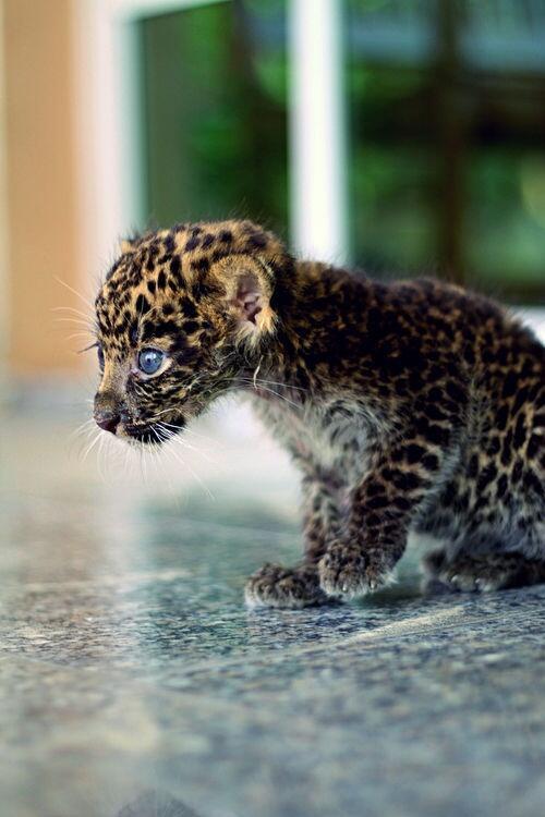 Clouded leopard kitten. http://t.co/wMjKhTx1TA