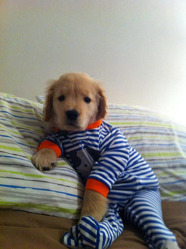 Pajama'd pup posing on a pillow http://t.co/3nCEJUeZp5