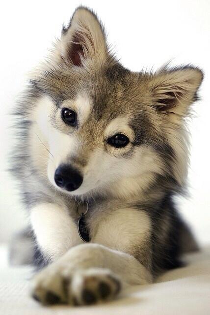 Husky pup! http://t.co/LfjOzInU89
