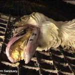 #banfoiegras foie gras is produced in a barbaric way - one great reason to ban it - https://t.co/jlHlCRPKKp @TheSun @Telegraph #foiegras