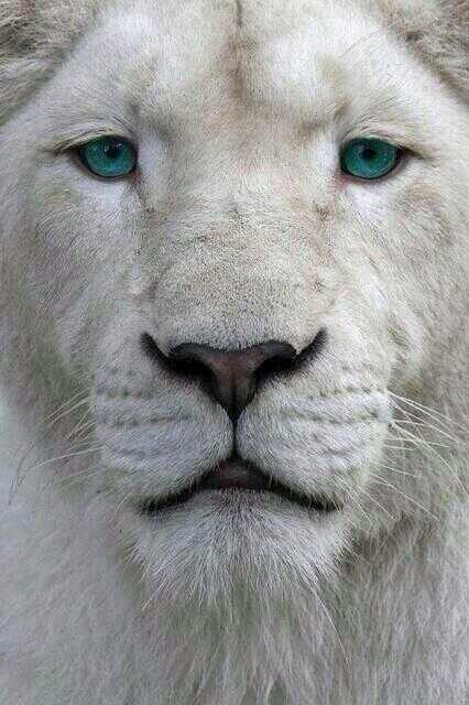 León albino, una belleza de ojos azules. Increíble. http://t.co/kpbHOyVutB
