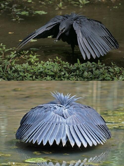Black Heron Imitating Shade/Shelter to Lure Fish http://t.co/zWgimvgLC5