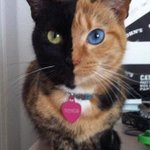 """@ThatsEarth: Cat Chimera, who is his own twin brother. (It occurs when two fertilized eggs fuse) http://t.co/YSOFqOJix3"""