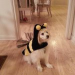I wasnt the only one who dressed up this Halloween!!Hehe #BumblebeeFluffy #prettysurehehatesmeforthis #dogcostumes http://t.co/gDb1Gz6Zrh