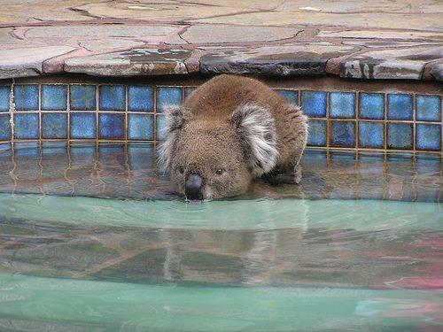 Koala having to drink from pool after bush fires in NSW - very sad - wildlife decimated in fires! http://t.co/Pe7cMhexxT
