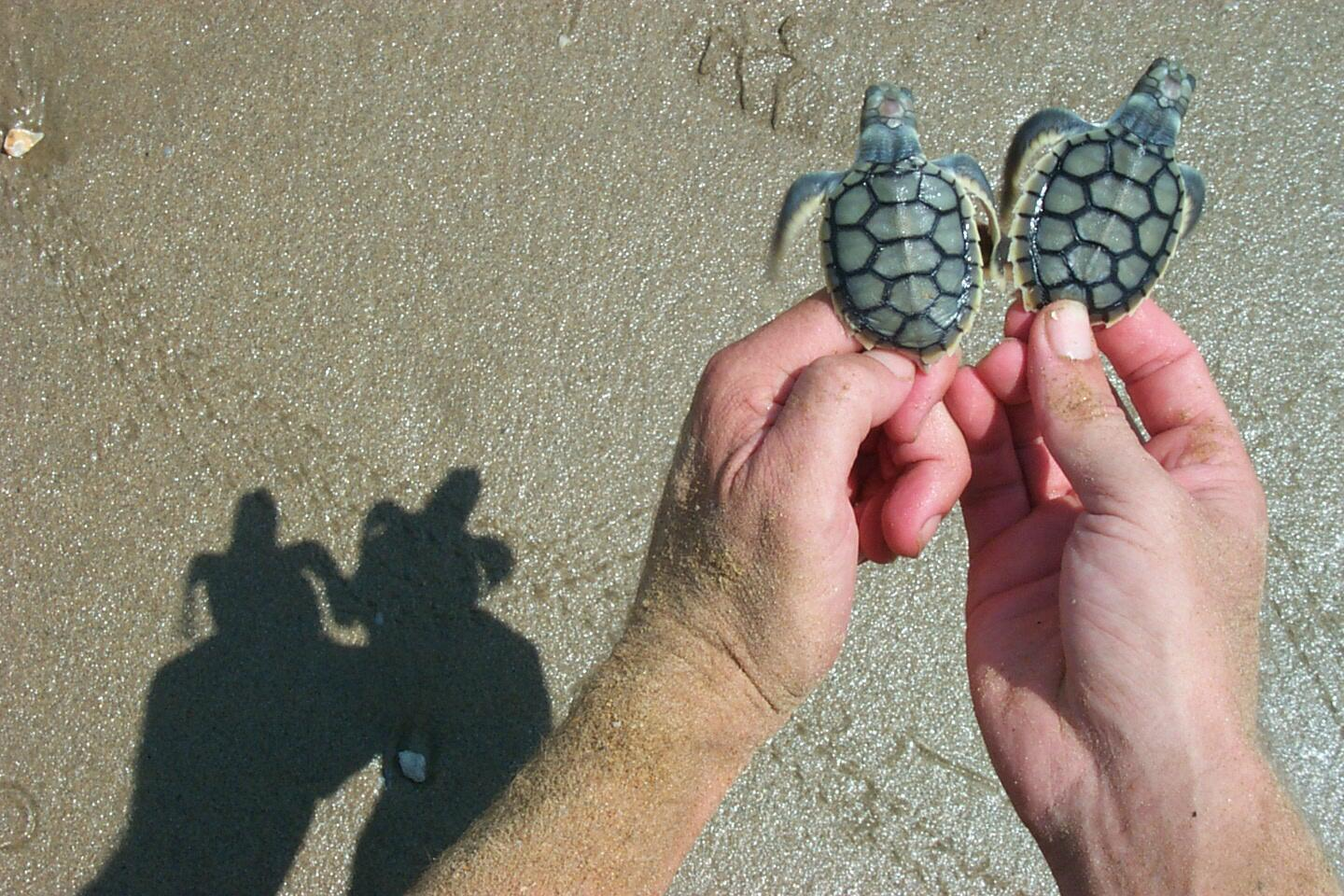 RT @turtlesatJCU: @WeAreAustralia 2 hatchling flatback sea turtles. These guys are as Aussie as the koala & breed all across the north. http://t.co/9PJnpk1R7q