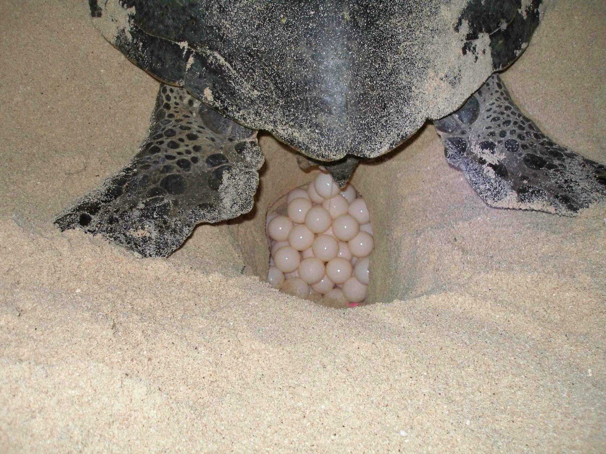 RT @turtlesatJCU: @WeAreAustralia a mother turtle lays her eggs. The sex of the hatchling depends on temperature, warm = more females http://t.co/I02GquO7iL