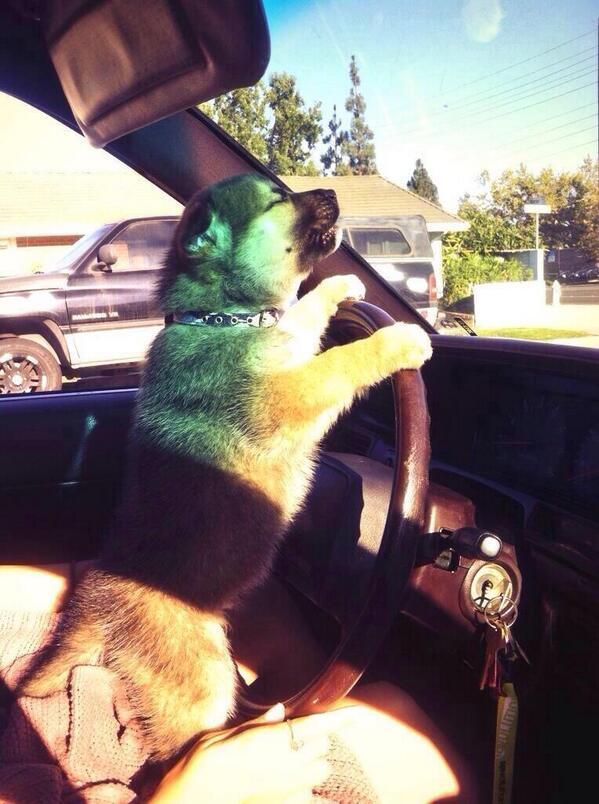 Puppy, driving a car. http://t.co/DysdRjIMI8