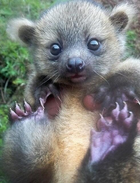 The Olinguito! With the cute power of a dozen little puppies! http://t.co/7CgMdChWD5