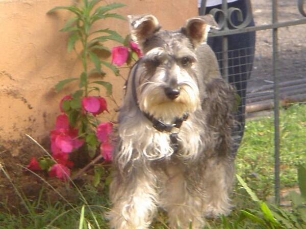 URGE!! Mi perrito se perdió ayer en Tres Rios!! Por favor RT!! Se llama Luca!! AYUDA POR FAVOR!! http://t.co/G1TuG73OBt