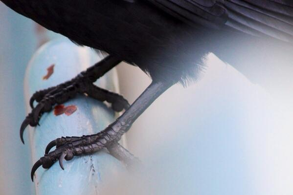 Crows toes #crowtograph http://t.co/tNAh5zIwFu