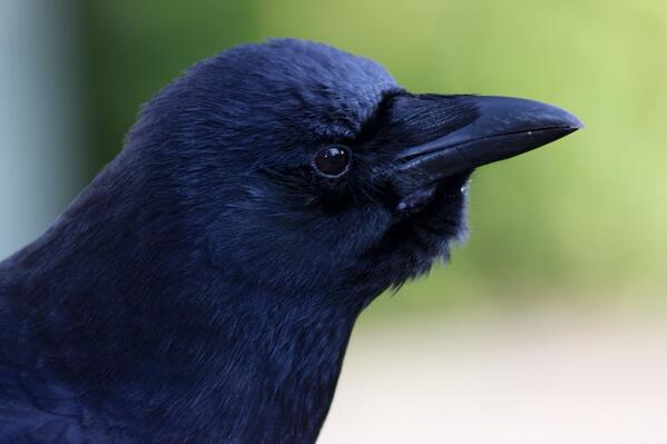 More Dave today #crowtograph http://t.co/ZjVEW6ZGuR