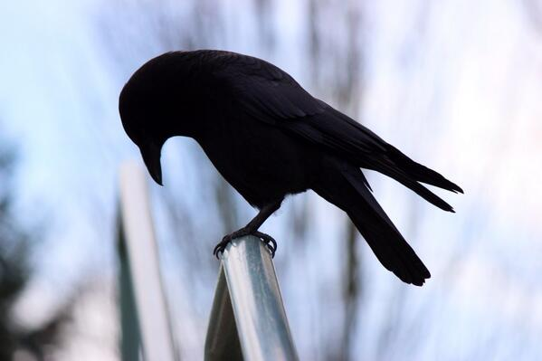 Reflective Dave #crowtograph http://t.co/wIL8wytlUW