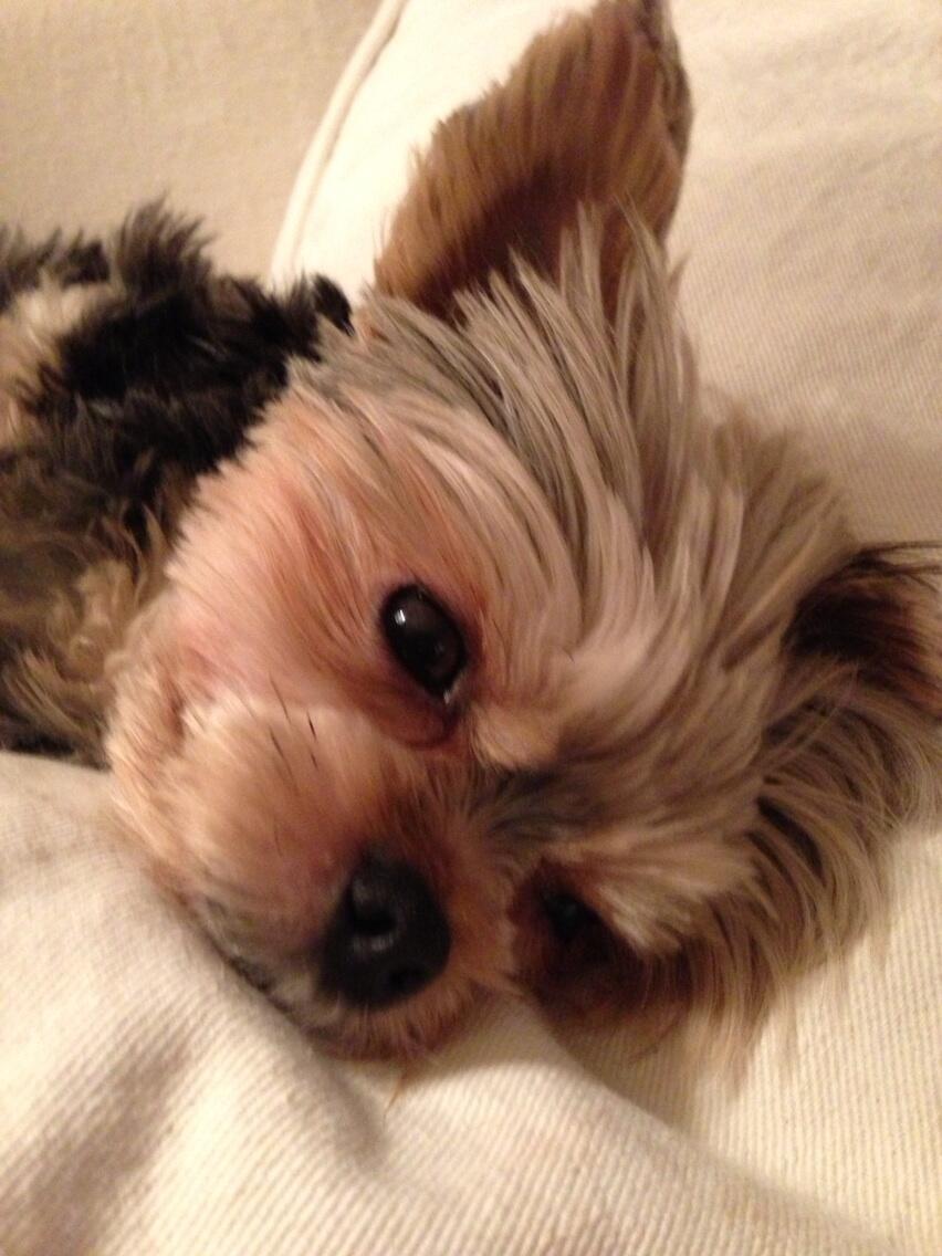 Adorableness definitely runs in the family! <3 RT @golfhunter: @iLoveDogsInc forgot Lola's brother...Tyler http://t.co/lv394fGied