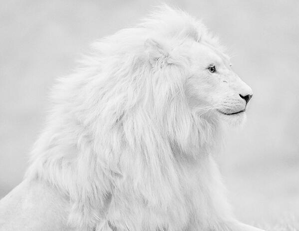 An albino lion, South Africa. http://t.co/BaCoGlEvNC