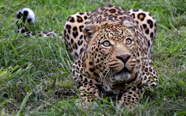 An African Leopard http://t.co/gIBUksxuCr