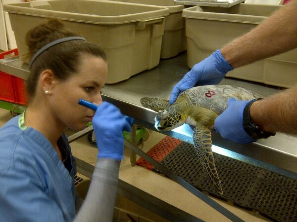 #seaturtle Cold-stunned green turtle being checked over by Dr. Brianne Phillips of NCSU-College Vet. Med. http://t.co/dFRW25ILgs