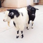 Our goat children papa Jose and Mama Leila @ModelLeila   Coco and Chanel