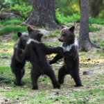 RT @MeredithFrost: These bear cubs are very adorable and also very good at dancing. http://t.co/6SMoakjNbQ