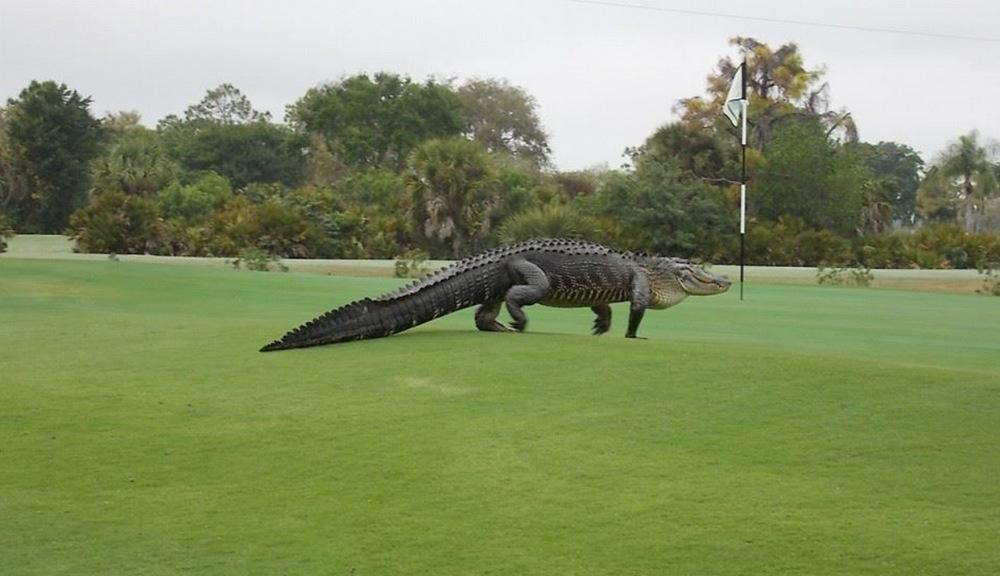 Monstrous alligator invades golf course in Florida http://t.co/bzfcDqs89o #fl http://t.co/IK1QgX30Hc