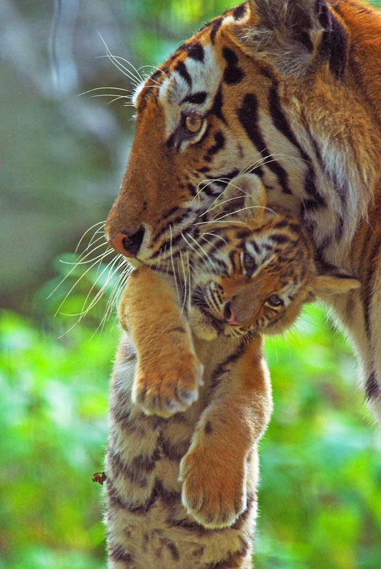 Tiger mums need our love too! Text TIGER to 70123 to donate £5 to @WWF_UK, and we'll triple it today! http://t.co/aEdFCiQL7J