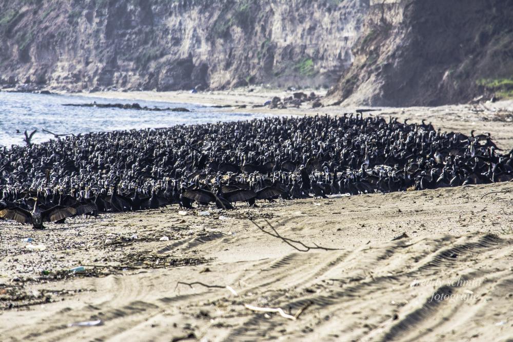 Καλημέρα, καλό Σ/Κ .Εχθές στο Μακρυγιαλό Πιερίας Κορμοράνοι κατέλαβαν την παραλία ! Freddy Schmitt  skaikairos.gr . http://t.co/p6CKpNjJKf