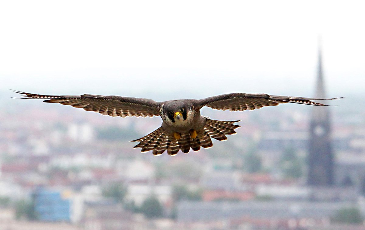 £1,000 reward to find person who shot dead a rare Peregrine Falcon at a wildlife sanctuary. http://t.co/OyyEfamC60 http://t.co/Jvi8AJHRYx