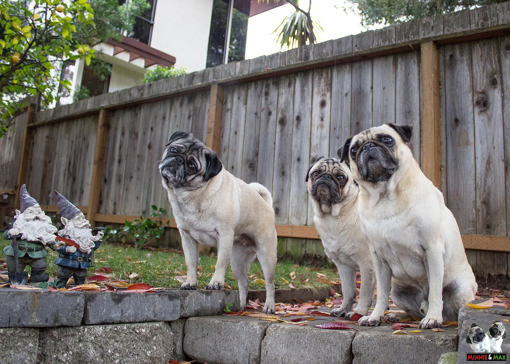 Yard (squirrel) patrol with our guest Louis. #pug #boss http://t.co/1thqtxKSjh