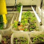 Após prisões, aumentam pedidos de liberação de cultivo de maconha em casa. http://t.co/4eLiPUBLTy http://t.co/Bn1ndE8kUl