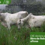 La Organización Mundial de Sanidad Animal declaró a #Ecuador país libre de fiebre aftosa » http://t.co/1v4ppNfqFa http://t.co/c7xmhzIMVe