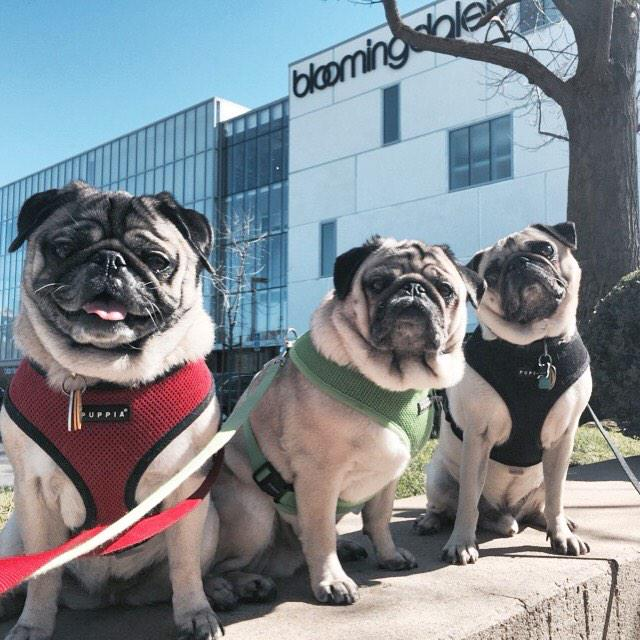Walkin' with Louis @StanfordShop. #boss #pug @Bloomingdales http://t.co/Dn4MoXq2ch