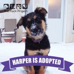 Awesome! RT @PackProjectSK: This little man has found his fur-ever home happy tails #packprojectsk #rescue http://t.co/5FTvu82x7H