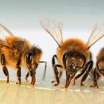 La moria delle api mette a rischio la sicurezza alimentare nel mondo #Expo2015 http://t.co/PM65Z0cupq http://t.co/td5hh4VUxS