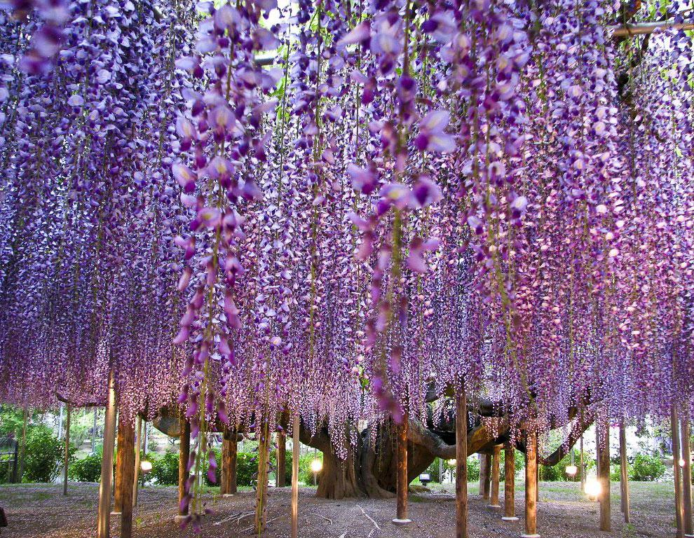 Wisteria - Honshu, Japan http://t.co/akq9mp6W4Q