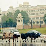Cows crossing constitutional avenue Islamabad.  #Pakistan #rainyday http://t.co/7qkXy7ynkD
