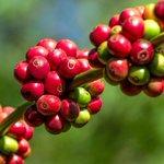 Il caffè: dalla coltivazione alla degustazione. Sfoglia la gallery su #ExpoNet http://t.co/wqt2w02bEg #Expo2015 http://t.co/Fzx6PCLy61