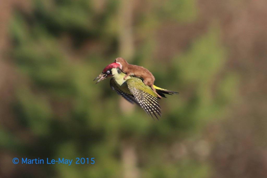 Holy crap. RT @birdingetc: RT @katemacrae: Wow! Amazing photo by Martin Le-May. Green Woodpecker and Weasel. http://t.co/FMDO7jyZtq