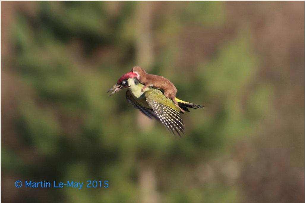 .@KingYamel caught a photo of a woodpecker flying with a weasel on its back! No joke. Apparently under attack. http://t.co/ftglUqGMsB