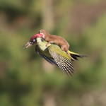 Here A Baby Weasel Riding A Woodpecker http://t.co/YA4mYJ5nM8 http://t.co/sFgvZx11QR