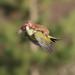 Heres A Baby Weasel Riding A Woodpecker http://t.co/YA4mYINMny http://t.co/cdnwPOKOvN
