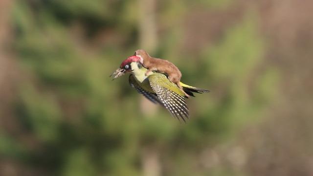 哲学ニュースnwk : 【画像】キツツキが背中にイタチを乗せて飛行する事案が発生 イタチに襲われた状態で飛んだらしい http://t.co/uLgP0RNsGx http://t.co/gFgBJ8YAe5