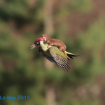 Good morning! Here's A WEASEL RIDING A FLYING WOODPECKER (Via @Jayward7, pic by @KingYamel) http://t.co/P2ybq8tf6D http://t.co/oQ34XDGbqy