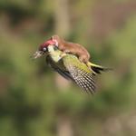 Woodpecker shown flying with weasel on its back in @KingYamel s amazing image http://t.co/JGpOBYgWht http://t.co/fSuvDlLzIq