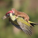 信じられない写真。驚嘆しました!【New!】イタチは飛んだ。キツツキに乗って http://t.co/ImcumECus8 @HuffPostJapan http://t.co/JFskxkzpak