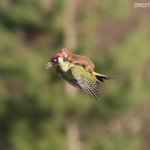 Wease-y rider! Weasel rides on woodpecker whilst on the lookout for food in London. See more: http://t.co/gYfrimWdLN http://t.co/oQLTXxjyui