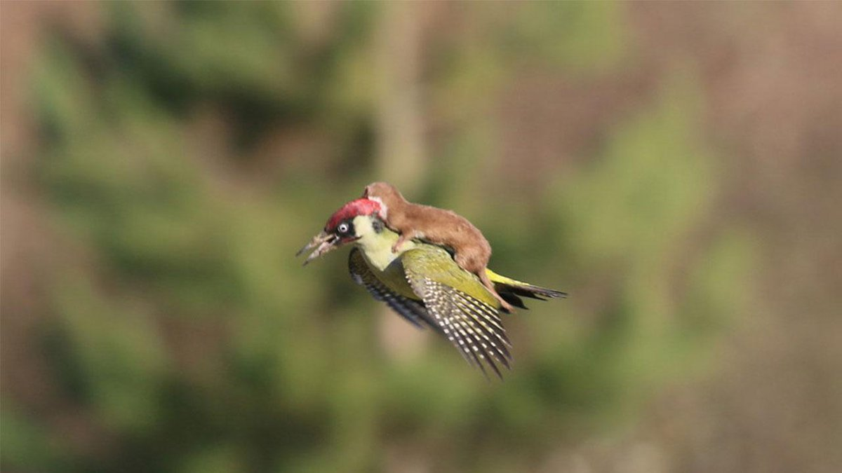 Incredible photo captures weasel riding on back of a woodpecker http://t.co/52QSLkr2HK