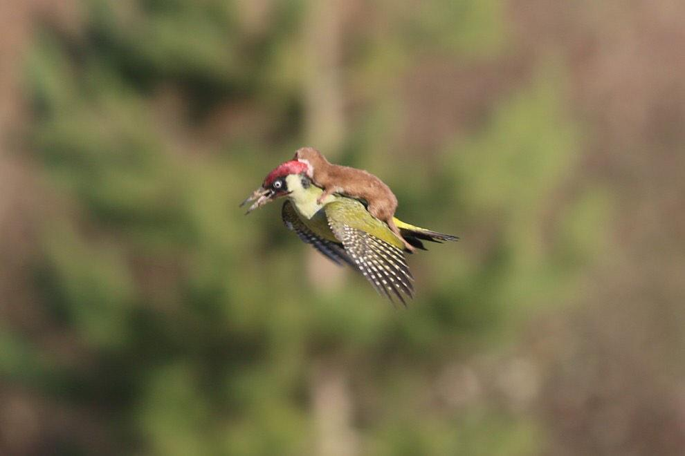 Sian Welby (@Sianwelby): Nothing to see here, just a BABY WEASEL RIDING A WOODPECKER #wtf http://t.co/mfLAse4fAL