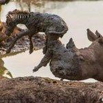 【切ない】サイが泥沼にはまった子シマウマを救おうとしたが… http://t.co/jhB2KjJDy7 角で子シマウマを刺してしまい、死亡してしまったという。 http://t.co/k70pFI9c9T
