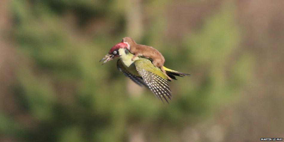 The curious case of the woodpecker & the weasel http://t.co/Is348rHIkf