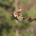 I think this photo may be photoshopped RT @msteeman @sheeraf @Laradio Putin<Weasel<Woodpecker chased by Stormtrooper. http://t.co/yAbhpixHuS